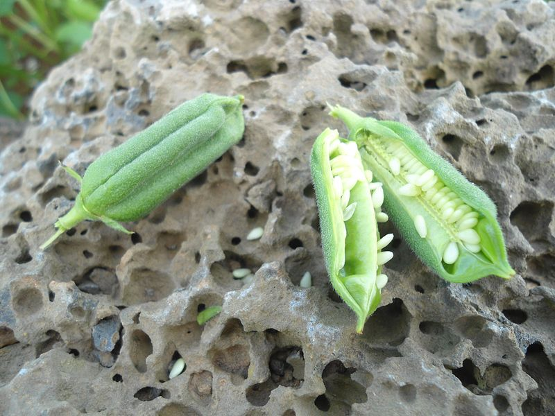 Плоды с семенами кунжута