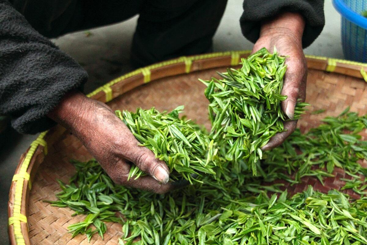 В Китае чай — только заваренные листья Camellia sinemsis, то есть китайской камелии