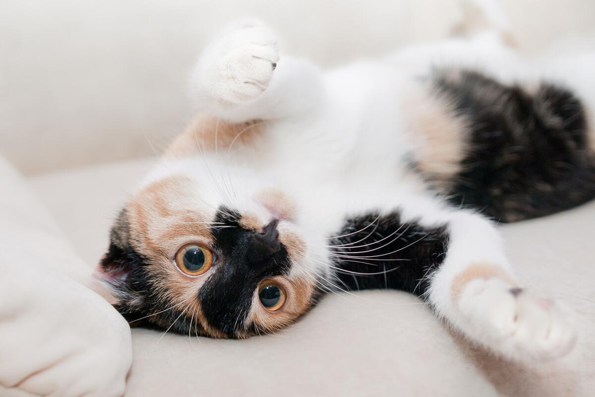 «Бедная Бодрствующая Кошка, Безуспешно Борющаяся с Бессонницей»