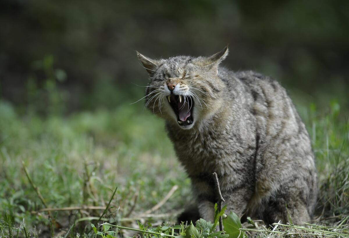 «Ершистая Кошка, которая Ежевечерне Ерепенится…»