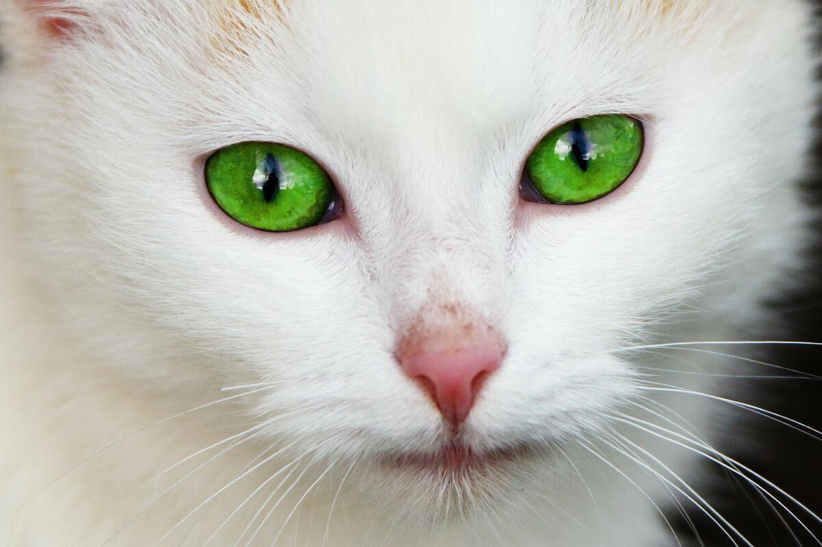 «Честолюбивая Кошка, Чётко Читающая Человеческие Черты…»