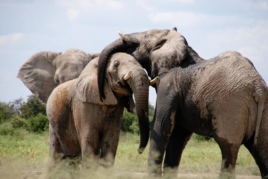 Как спасает слонов искусственный интеллект?