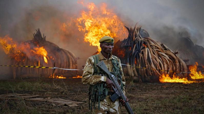 Сожжение слоновьих бивней, изъятых у браконьеров