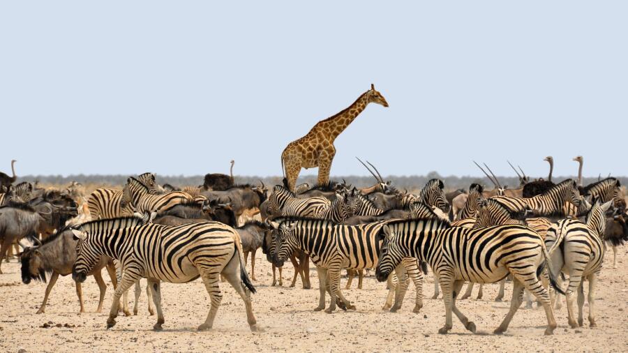 Зачем жирафу длинная шея?