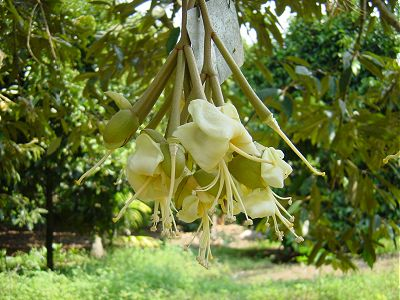 Цветущий дуриан