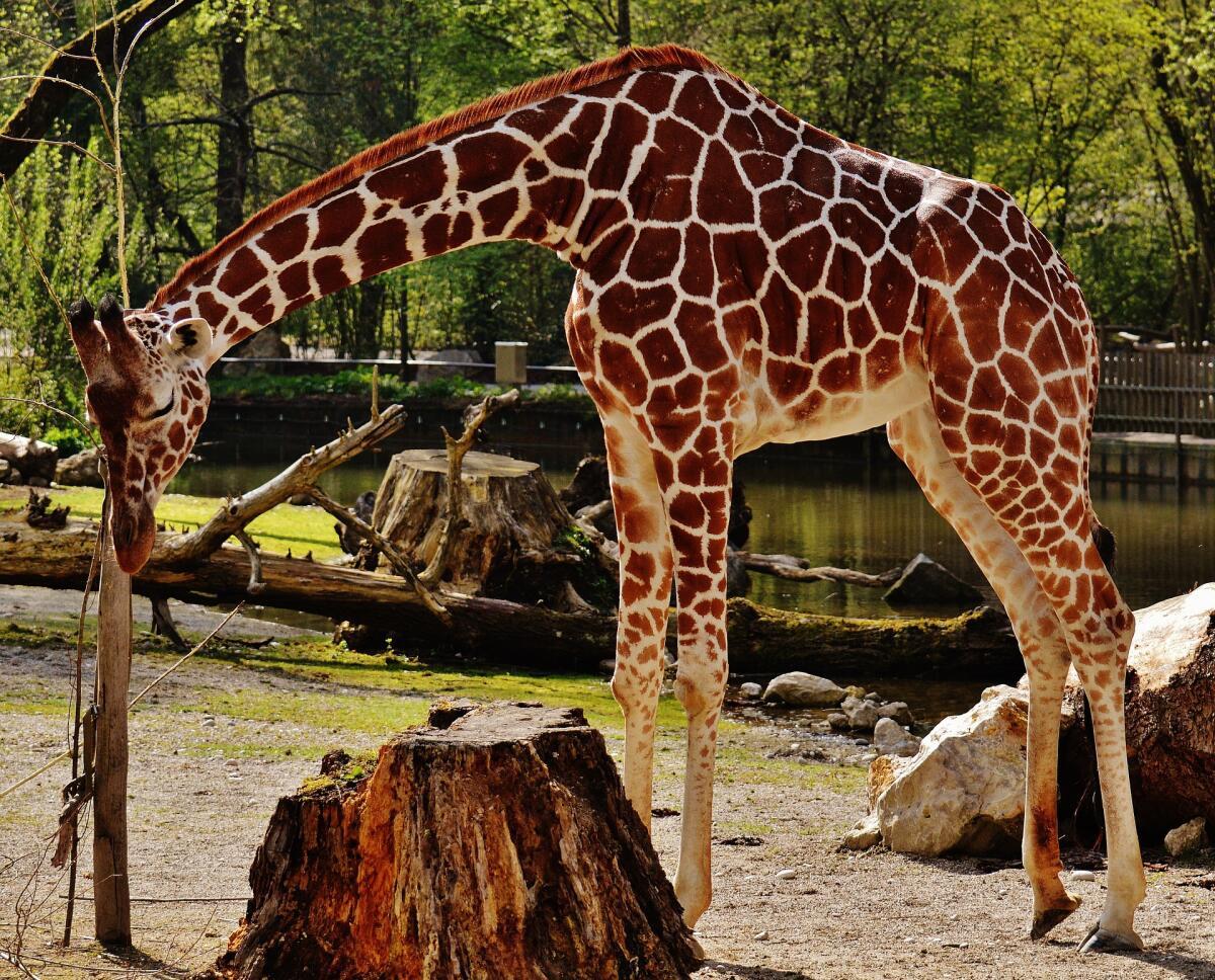 Расцветка «жираф» не будет сочетаться с «леопардом»