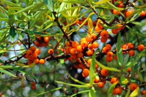 В ягодах облепихи витаминов в 6 раз больше, чем в чёрной смородине, и в 15 раз больше, чем в апельсинах.