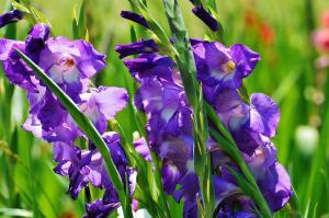 Гладиолусам нужно 40-45 дней после цветения, чтобы клубнелуковица набралась сил для будущего года!