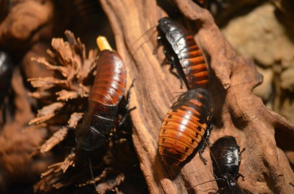 Мадагаскарский таракан: чудовище или домашний любимец?