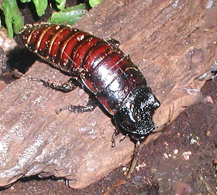 Во взрослом состоянии таракан достигает размеров мелкой мыши, т. е. до 10 см, и может весить около 40 граммов
