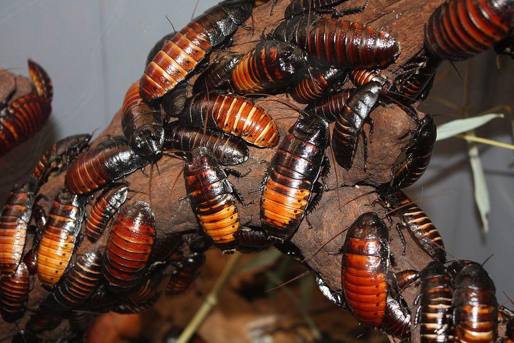 Через 4 месяца личинки становятся молодыми проворными таракашками