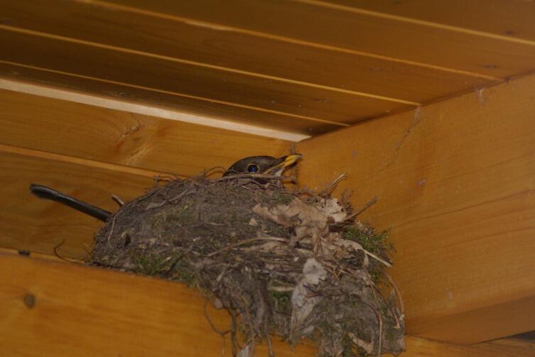 Гнездо обычной ласточки