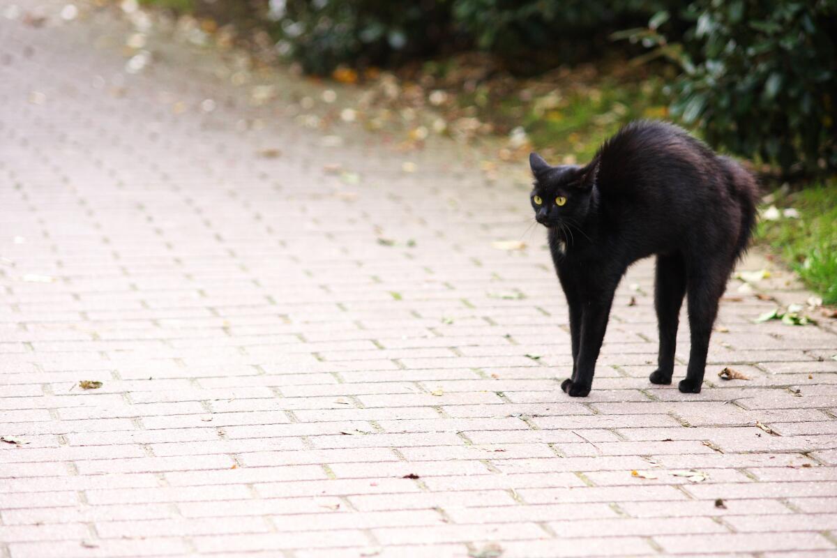 Черная кошка перебежала дорогу, добра не жди