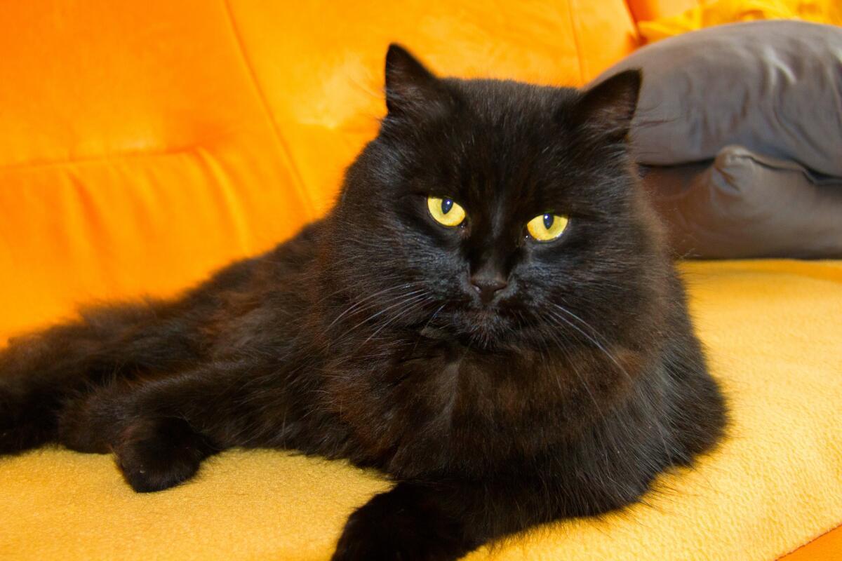 Черная кошка— слуга дьявола?