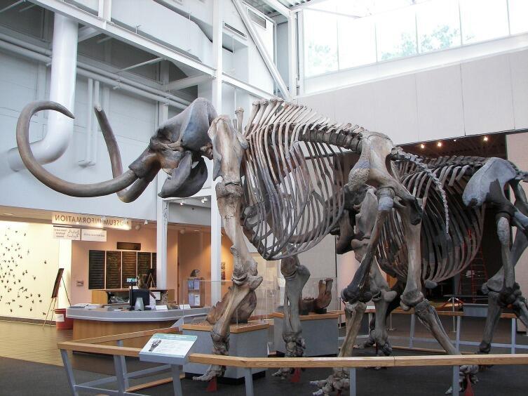 Скелет мамонта в музее