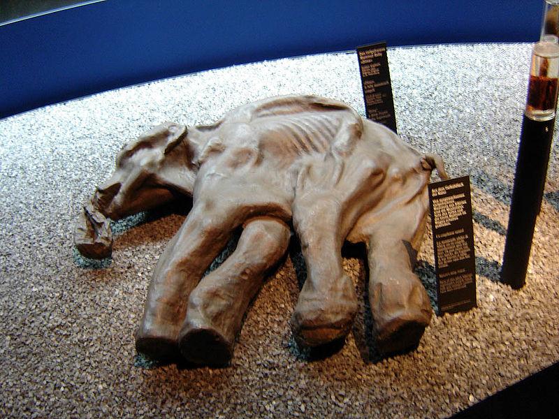 Извлечённый из многолетней мерзлоты Киргиляхский мамонт