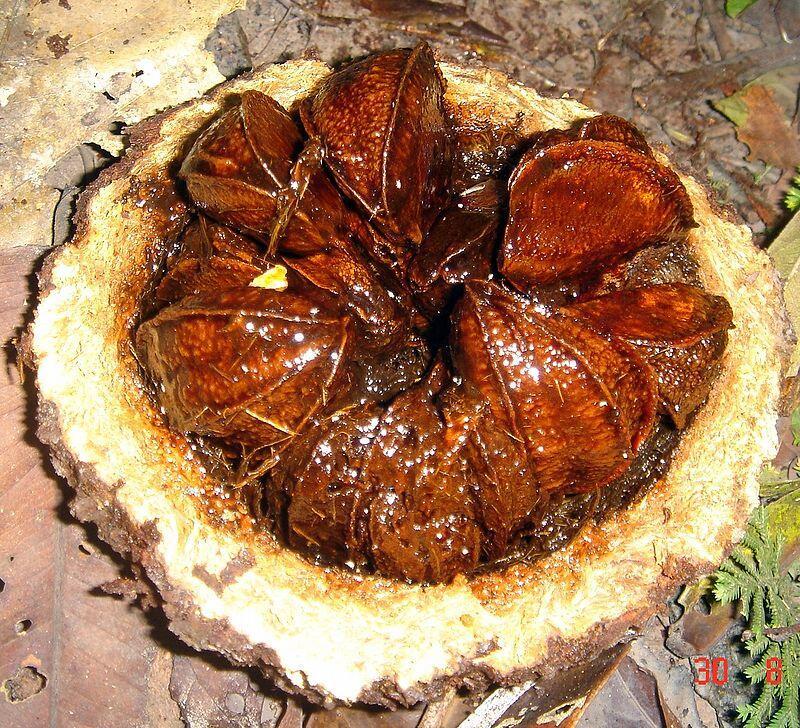 Свежесрезанный плод бразильского ореха - бертолетии (Bertholletia)