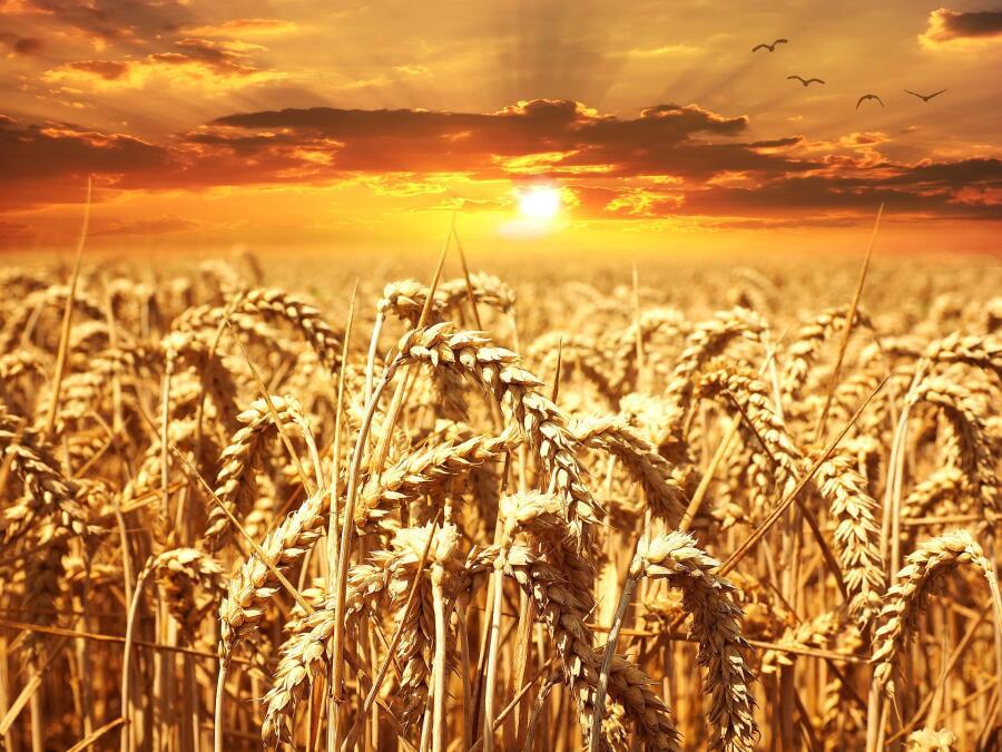 Из пшеницы делают вкусный кофейный напиток «Здоровье»