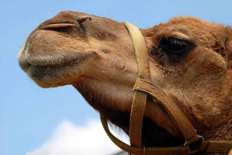 Верблюды используют запасы жира в качестве дополнительного источника воды