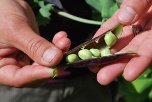 Как использовать зеленый горошек?