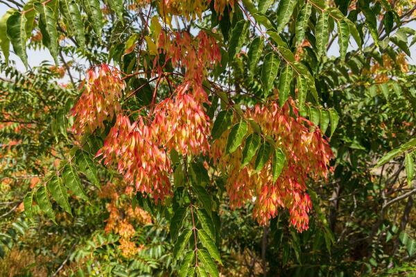 Айлант - вонючка или рай-дерево?