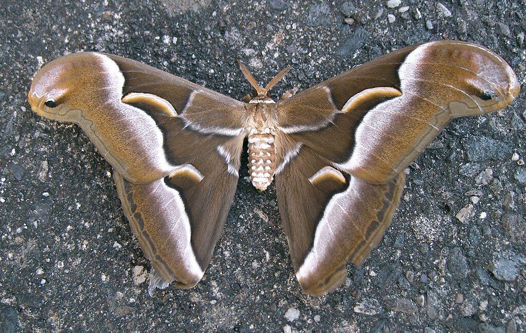 Бабочка айлантового шелкопряда (samia cynthia pryeri)