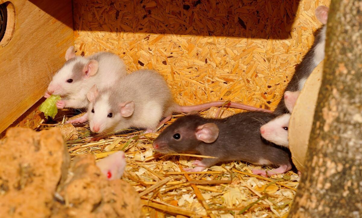 Только крысы и люди уничтожают себе подобных