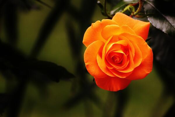 Как выбрать розы для дачи?