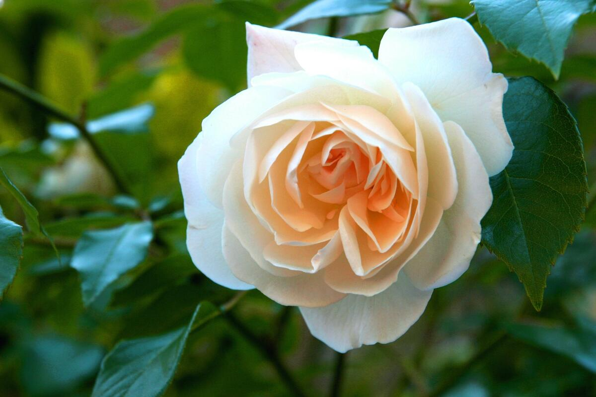 Аромат розы нежно обволакивает сердце