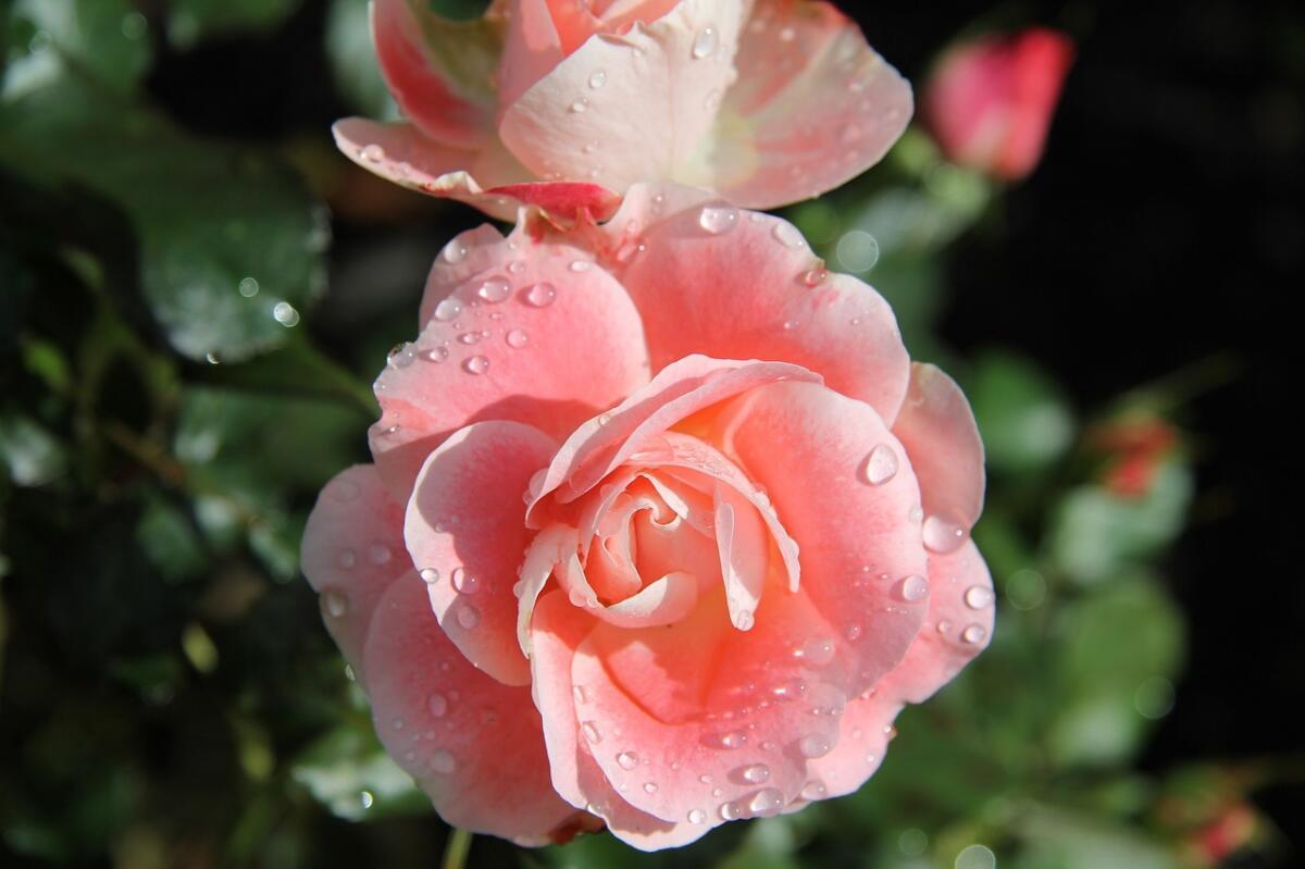 Ни один цветок не вдохновлял поэтов так, как роза