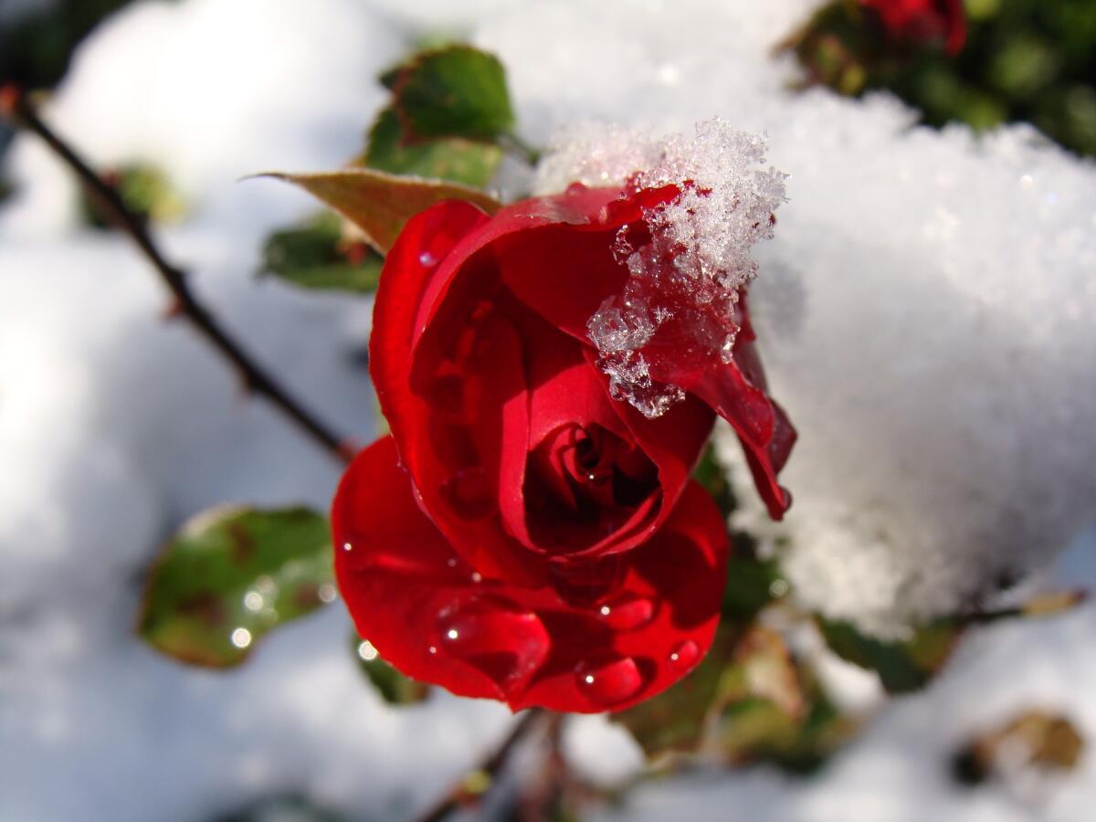 Розы не слишком любят морозы