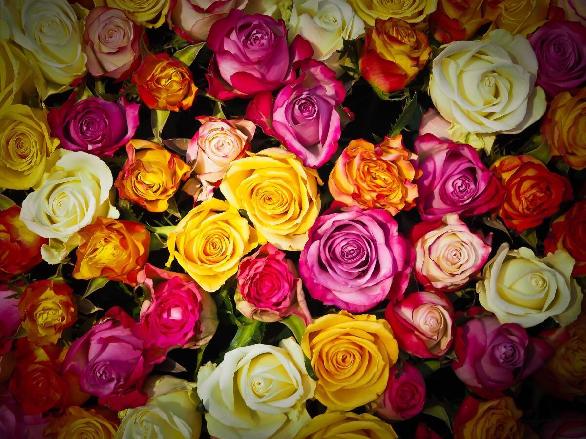 Розы совершенны