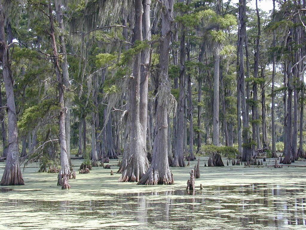 Таксодиум болотный в Луизиане