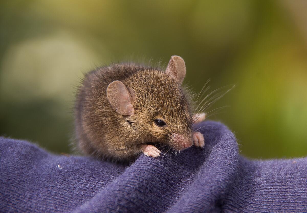 Мышь в квартире - это страшно