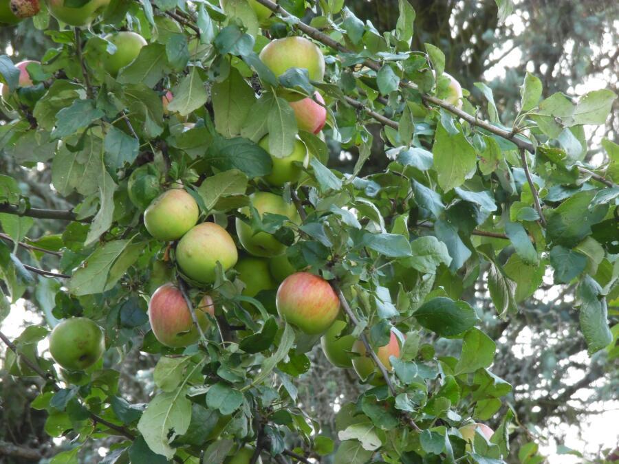 Яблоко — серьезный символ, один из главных, наверное