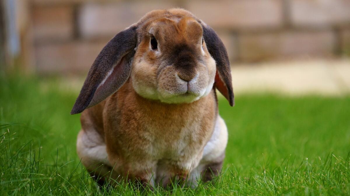 Кролик живет около 10 лет