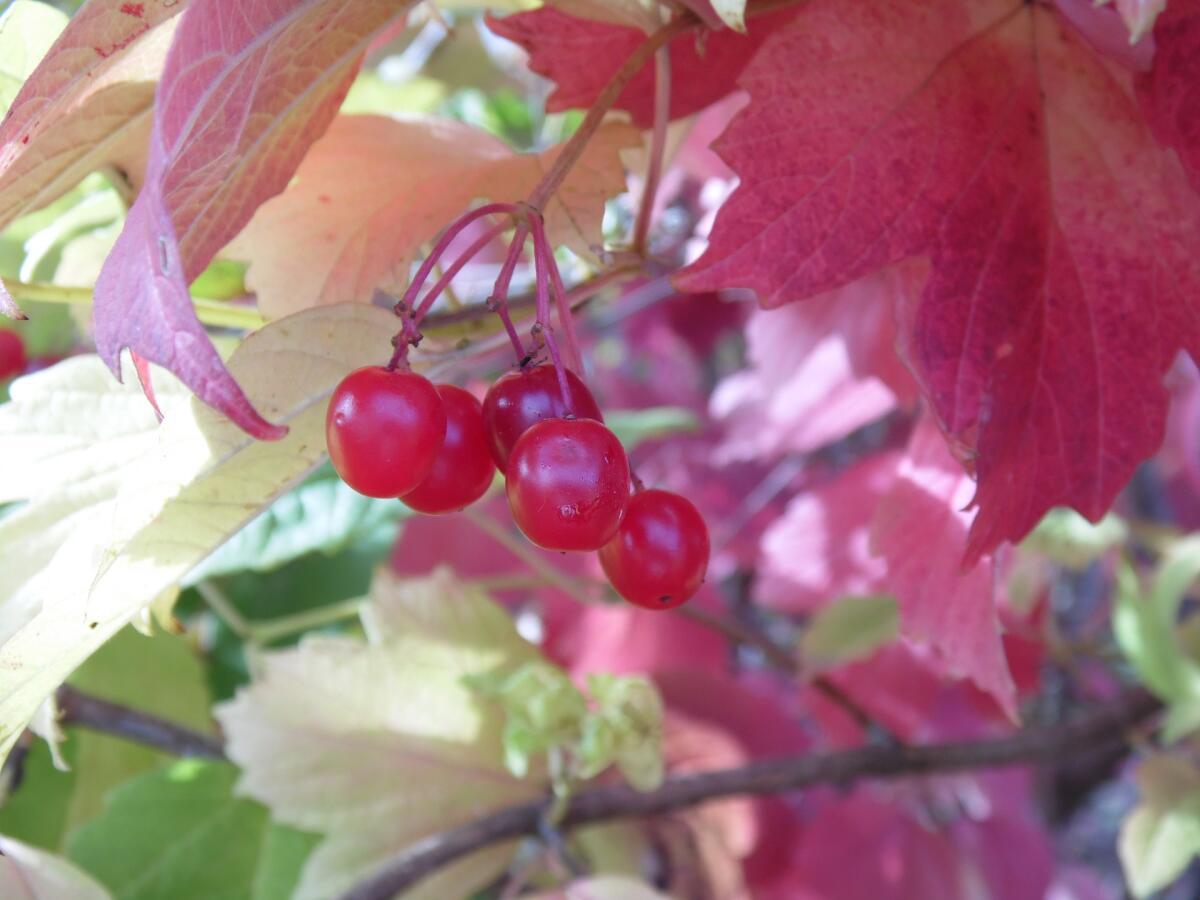 Цвет листа калины осенью