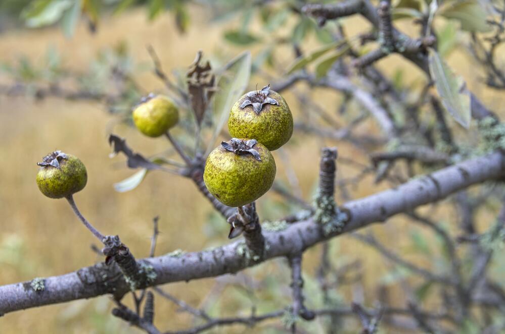 Крымская дикая груша