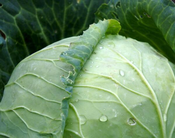 Как засолить капусту кочанами? Старательно…