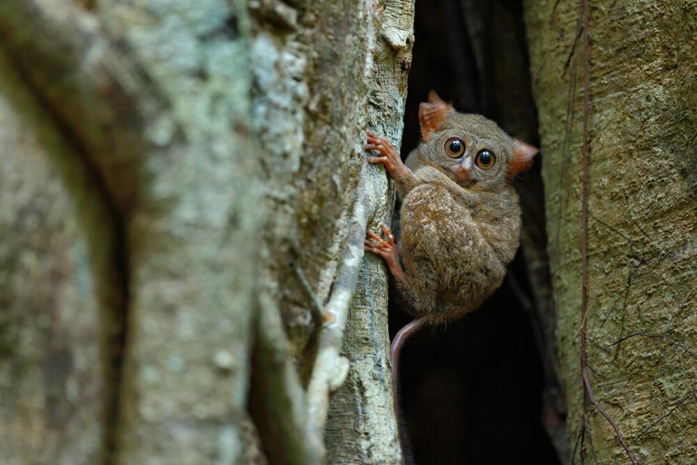 Долгопят— обитатель фикусовых лесов Юго-Восточной Азии