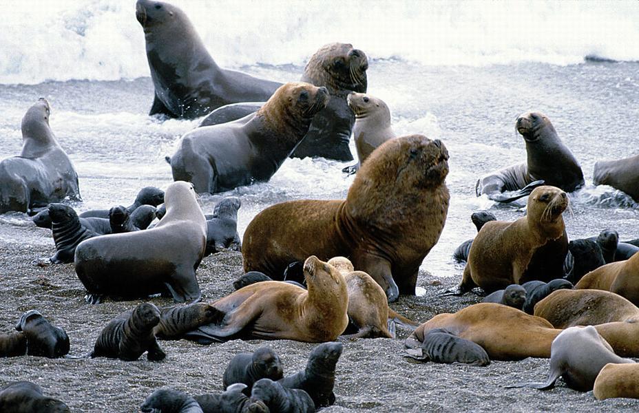 Южные морские львы