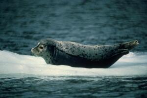 Почему Умке попадались одни тюлени?