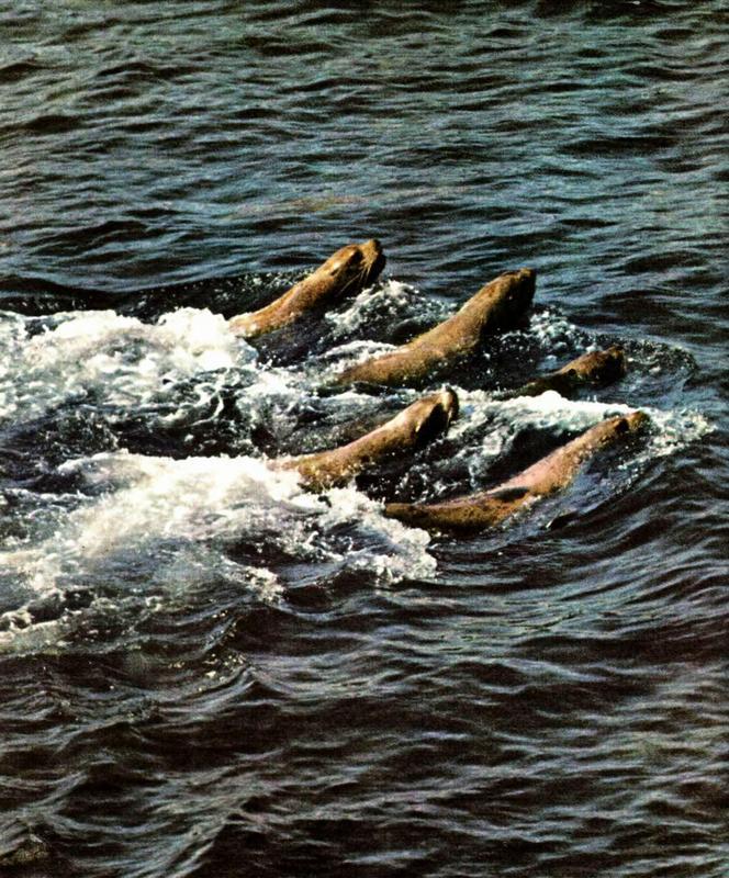 Северные морские львы, или, как их ещё называют, сивучи