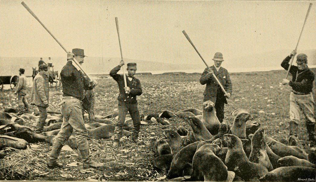 Забой морских котиков на Аляске. Фото 1890-х годов
