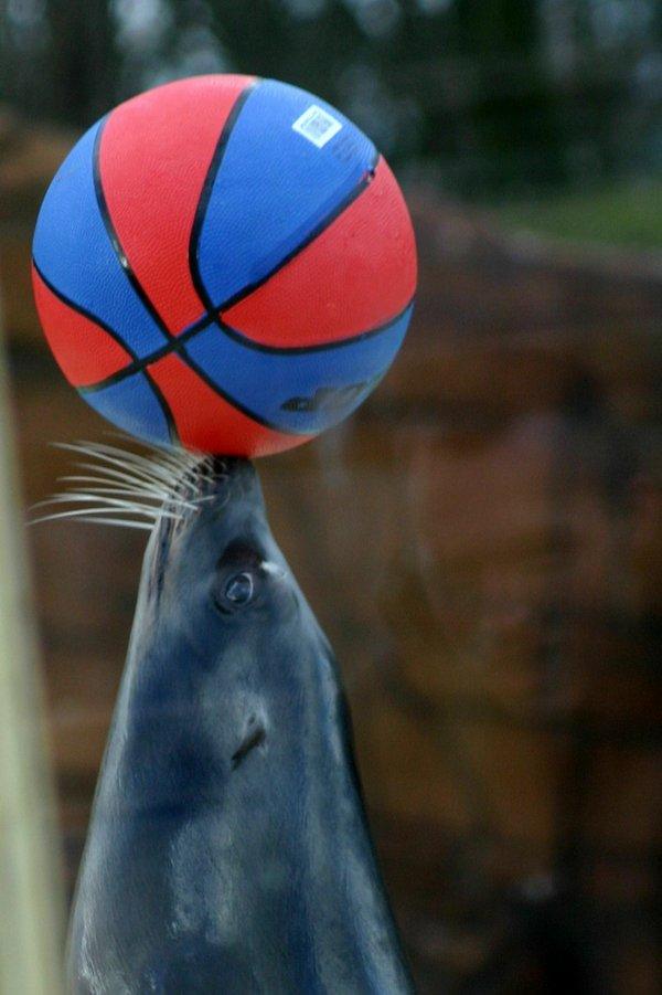 Насколько умны морские львы?