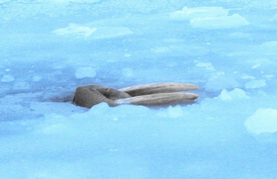 Как выглядит «хрен моржовый» и насколько опасен морской леопард?