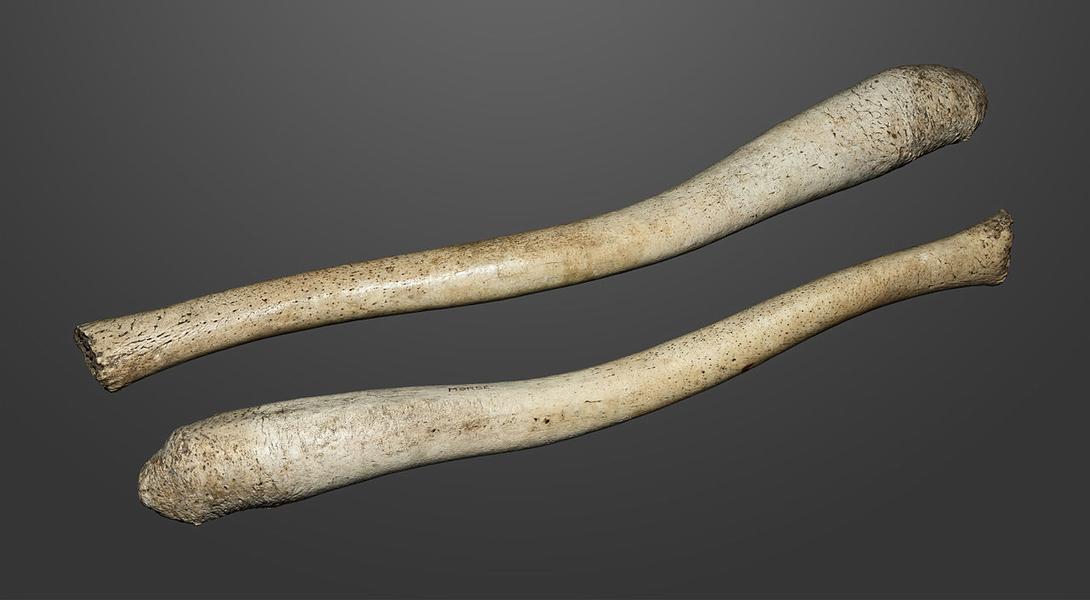 Бакулюм моржа, обработанный алеутами