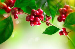 Как получить кофе собственного урожая в домашних условиях?