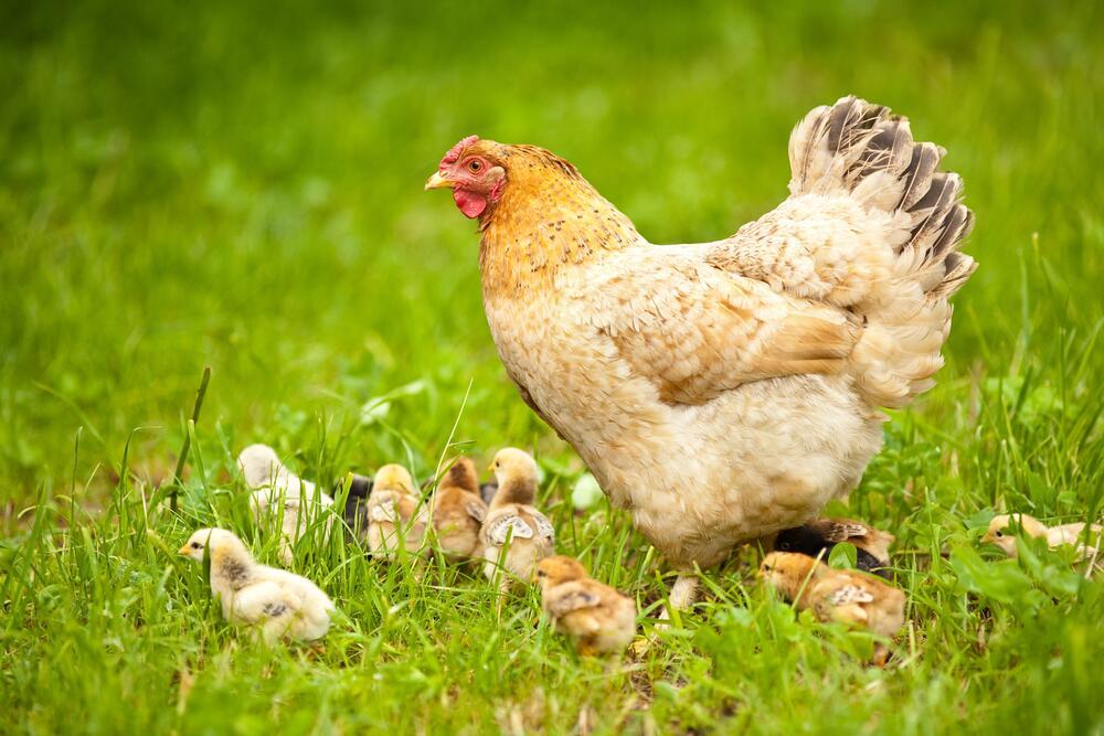 Чего мы не знаем о курином яйце?