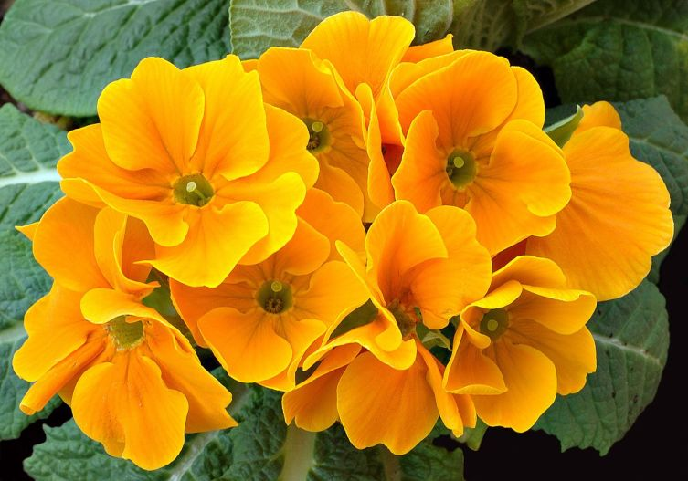 Примула Primula hortensis